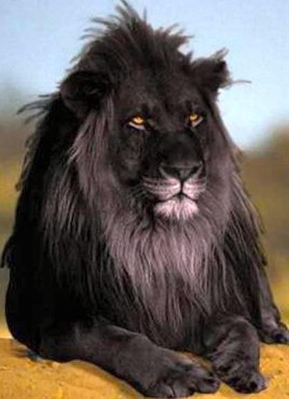 """The opposite of albinism called melanism, a recessive trait where the skin and fur are all black. This is perhaps the most beautiful lion I have ever seen. I feel like they should make a Disney movie thats aprequel to """"The Lion King"""" that focuses on Scar and Mufasa as children. This black lion could be their father, King Ahadi, which mates with a regular lioness and can account for Scars black mane    that is a beautiful lion"""