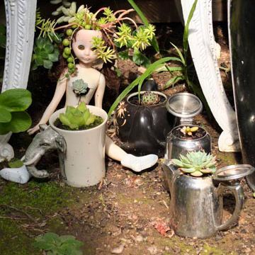Gerard's Doll Plants in his greenhouse. Omeo, Easter 2014.