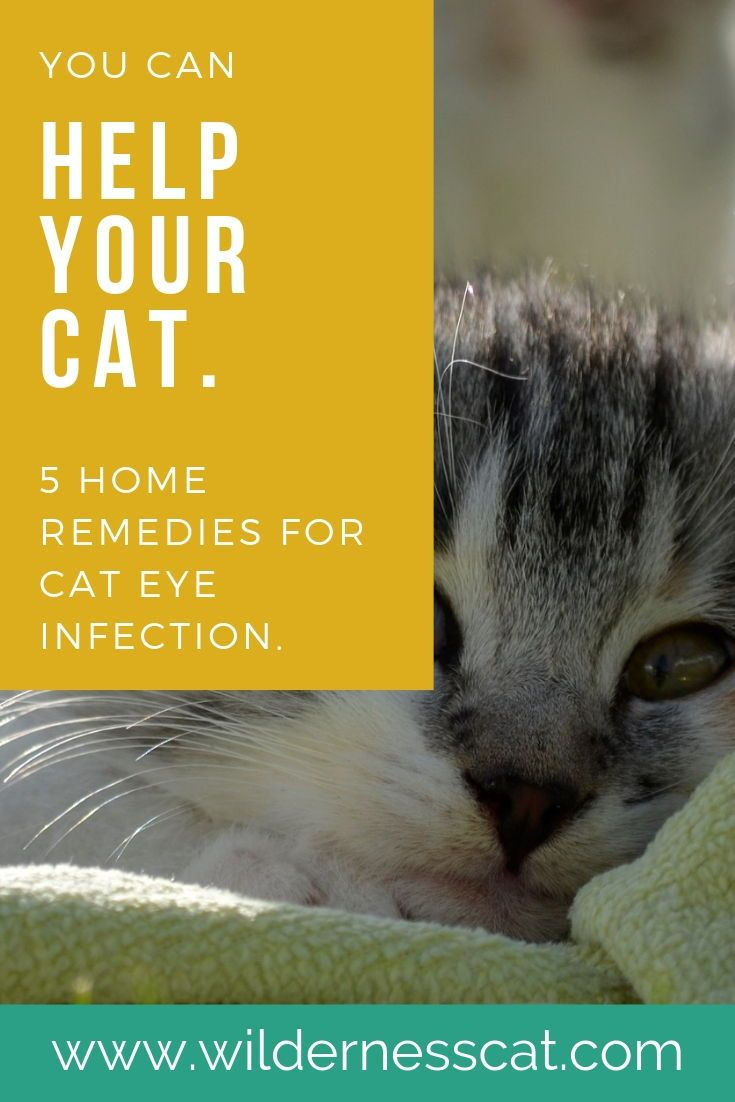 Home Remedies For Cat Eye Infection Wildernesscat Cat Eye Infection Eye Infections Kitten Eye Infection
