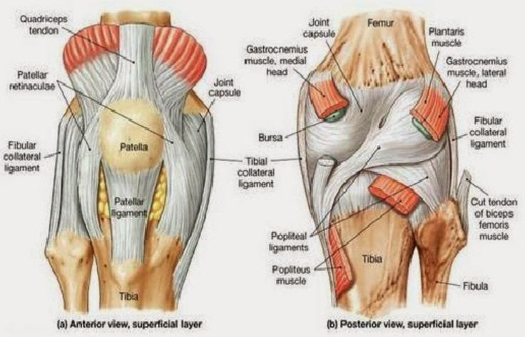 anterior and posterior aspects of the knee netter