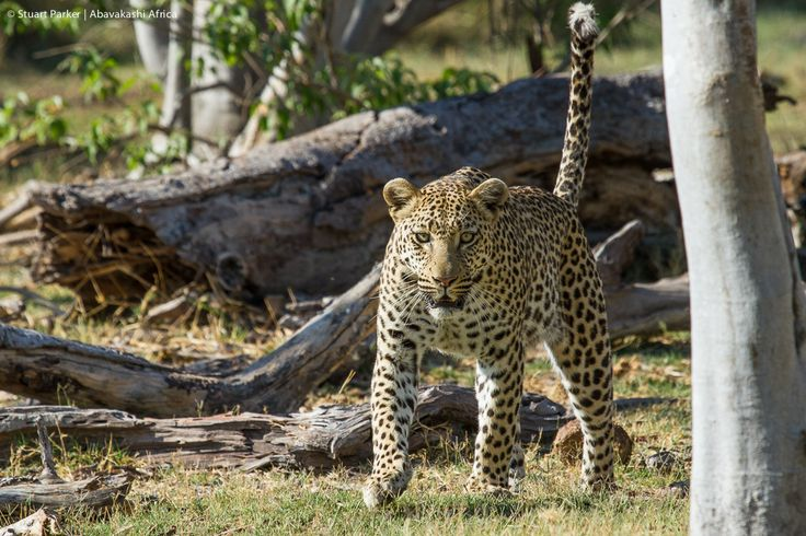 A young male leopard in the Moremi Game Reserve in Botswana