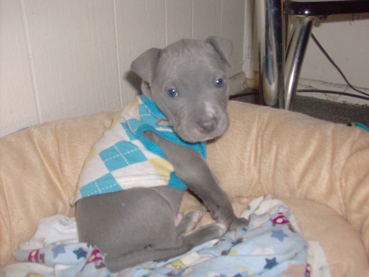 I absolutley LOVE blue pits ! They are GOURGOUS(: