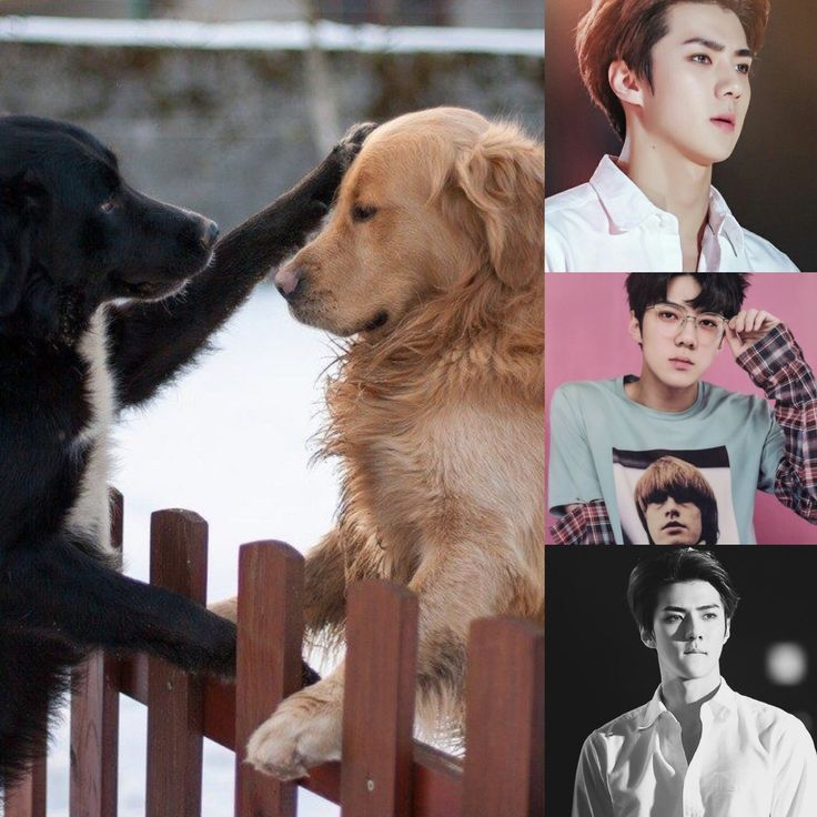 ChineseZodiac&KPOP // Dog // Sehun of exo
