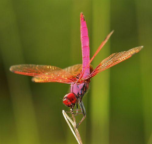 Male Crimson Marsh Glider (Trithemis aurora)   Most dragonfl…   Flickr