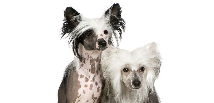 Perro Crestado Chino: cuidados y carácter - http://www.mundoperros.es/perro-crestado-chino-cuidados-y-caracter/