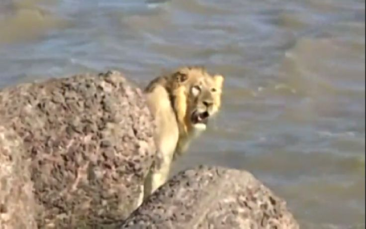 Epic Rescue of Lost Lion Who Jumped in the Arabian Sea (VIDEO)