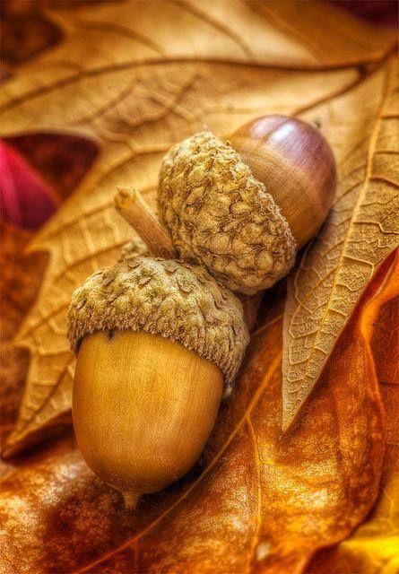 Harvest acorns