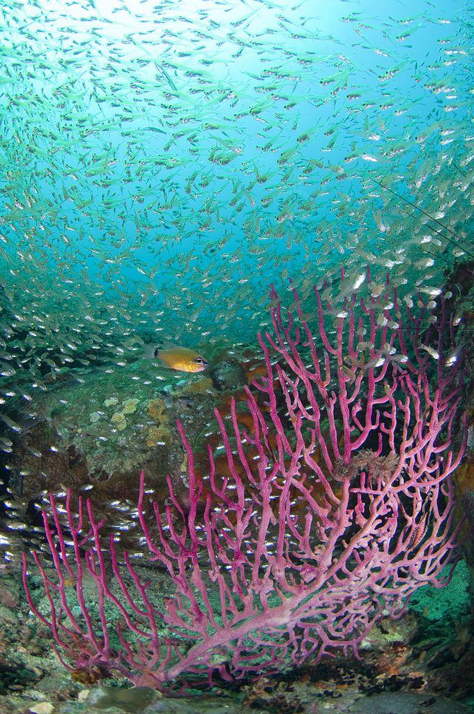 Seafan with school of silvery fish, Mayne Rock, West Coast of Sabah, Borneo, East Malaysia.
