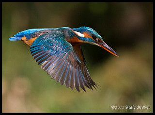 Kingfisher Flight | by malckingfisher