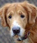 GEORGIA ~ This is Trooper a senior dog. He was an owner surrender to a shelter due to lack of time. He gets along with other dogs, cats & kids, is neutered, potty trained and up to date with vaccinations. Poor Trooper was sad and stressed at shelter - he would love a forever home and is at Adopt A Golden Atlanta Love is in his eyes, I'd take him if I anyway posible could.....