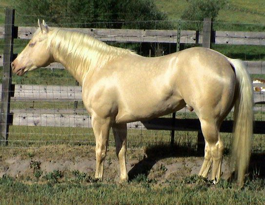 First Class Chippewa - cremello stallion.  I have 2 babies out of him...the BEST temperament!