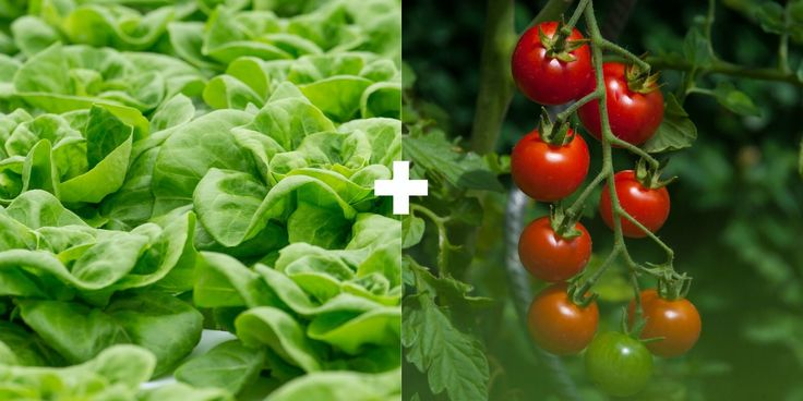 """Companion Planting: Lettuce + Tomatoes or Eggplants (Pairing plants w/ different growth habits together is referred to as 'intercropping"""". Tomatoes & eggplant grow tall & eventually shade cool season crops which don't like heat. Extends your lettuce season slightly.)"""