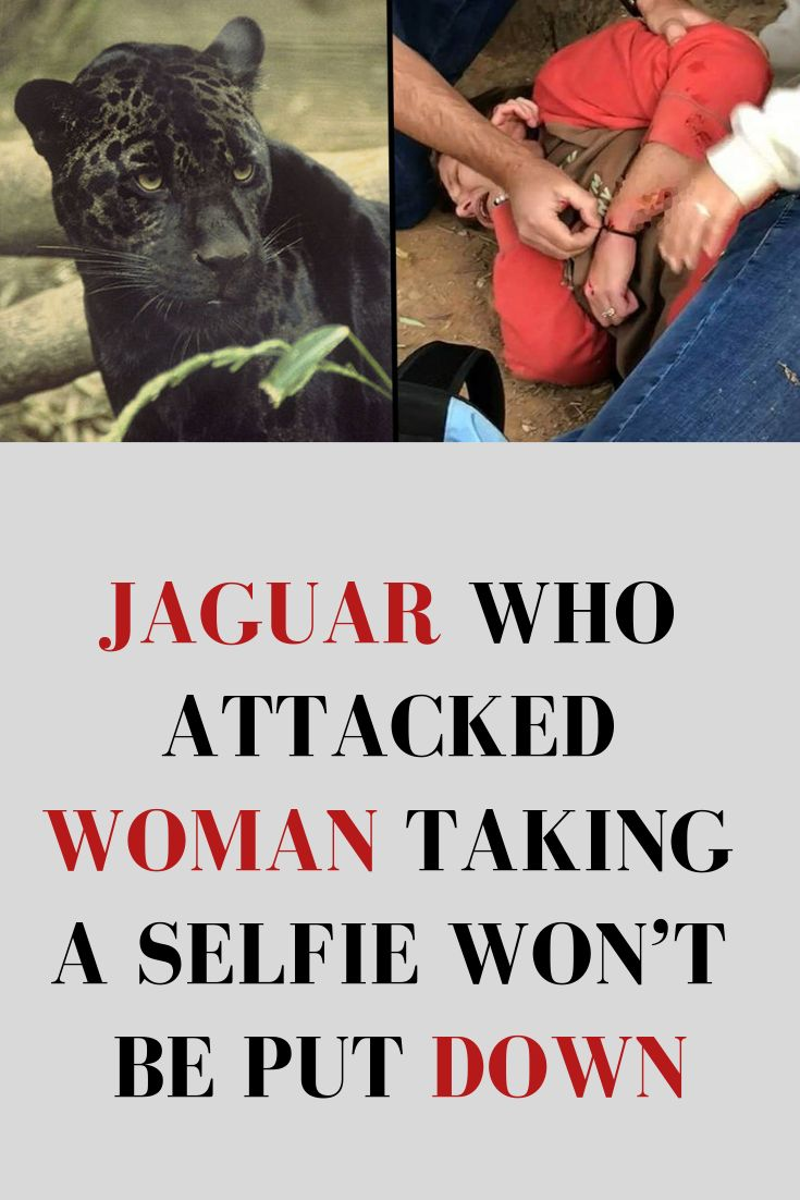 Jaguar Who Attacked Woman Taking a Selfie Won't Be Put Down