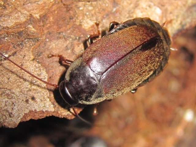 Protein crystals in Pacific beetle cockroaches have four times the energy of an equivalent mass of cow milk.As upsetting as it may sound cockroach milk might just be the flavour of the future as soon as it can be transformed into an edible food supplement.  According to a report by the BBC research by scientists has revealed that a certain species the Pacific Beetle Cockroach feeds its bug babies a formula which is remarkably rich in protein fat and sugar.  The species also known as…