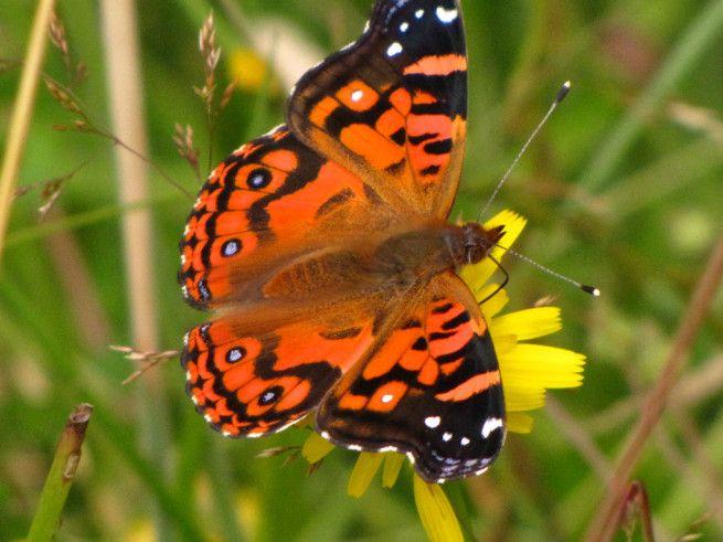 vanesa.  Por qué este año tenemos tantas mariposas en la zona central de Chile.