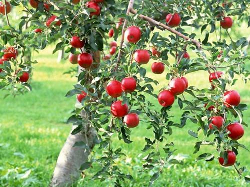 apple tree :):