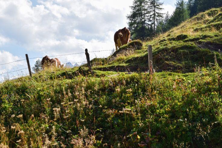 Glückliche Küche auf den Bergwiesen der Hohen Tauern http://www.travelworldonline.de/traveller/hohe-tauern-mit-dem-auto-glockner-hochalpenstrasse/?utm_content=buffer71cfb&utm_medium=social&utm_source=pinterest.com&utm_campaign=buffer ... #berge #mountains #alpen #alps