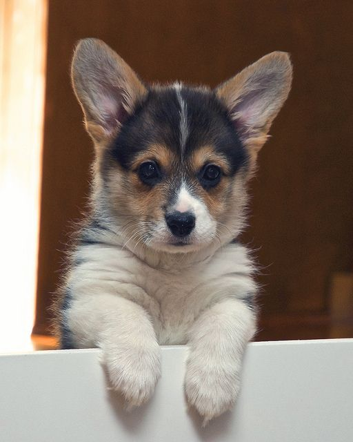 I Only Want to Be With You! Fiona, a tricolor Pembroke Welsh Corgi puppy | Flickr - Photo Sharing! by wplynn