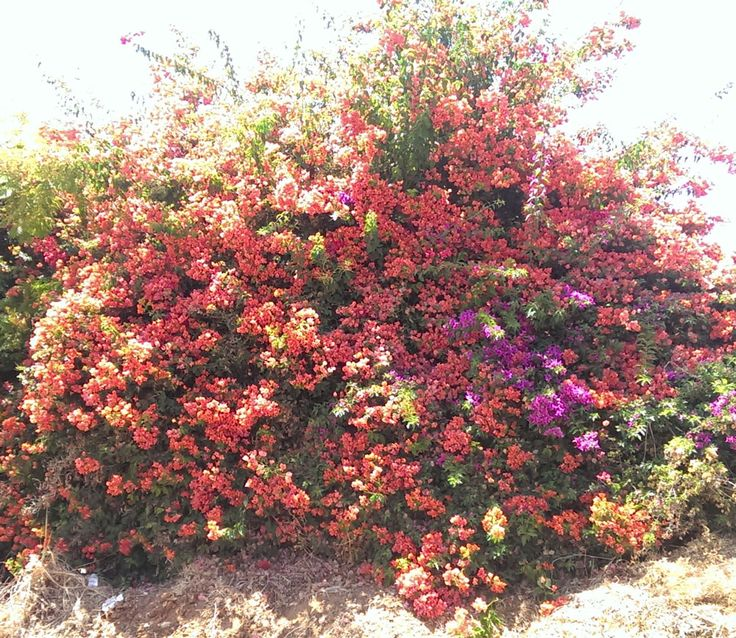 Bougainvillea buttiana flowers - How to grow Bougainvillea plant, http://www.growplants.org/growing/bougainvillea-buttiana
