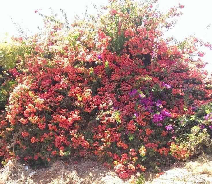 Bougainvillea buttiana flowers - How to grow Bougainvillea plant, http://www.growplants.org/growing/bougainvillea-buttiana
