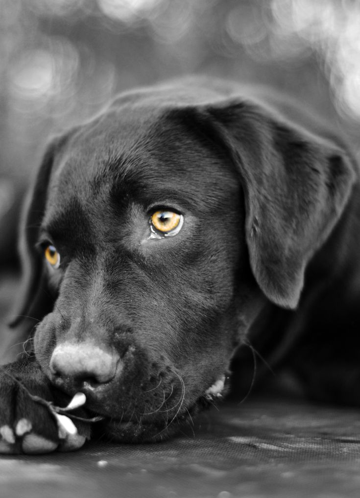 Chocolate Labrador // https://www.facebook.com/JoshuaToddPhotography