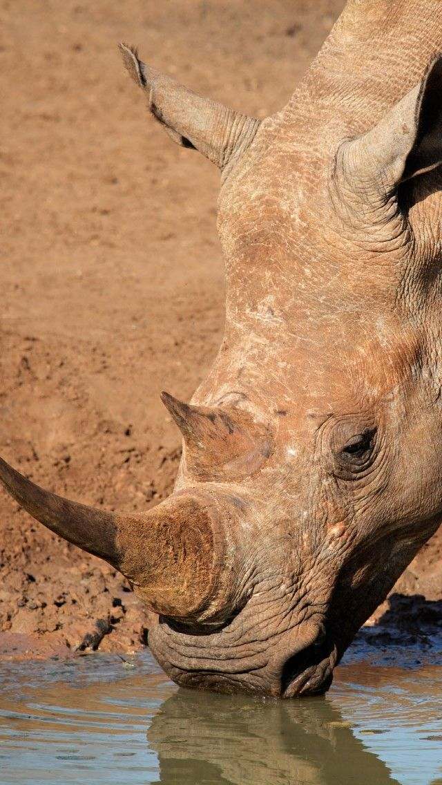 """White square-lipped Rhinoceros drinking water in the Mkuze game reserve, South Africa."""
