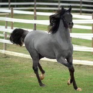 blue roan. this has to be one of the most beautiful horses i have ever seen. what a striking color.