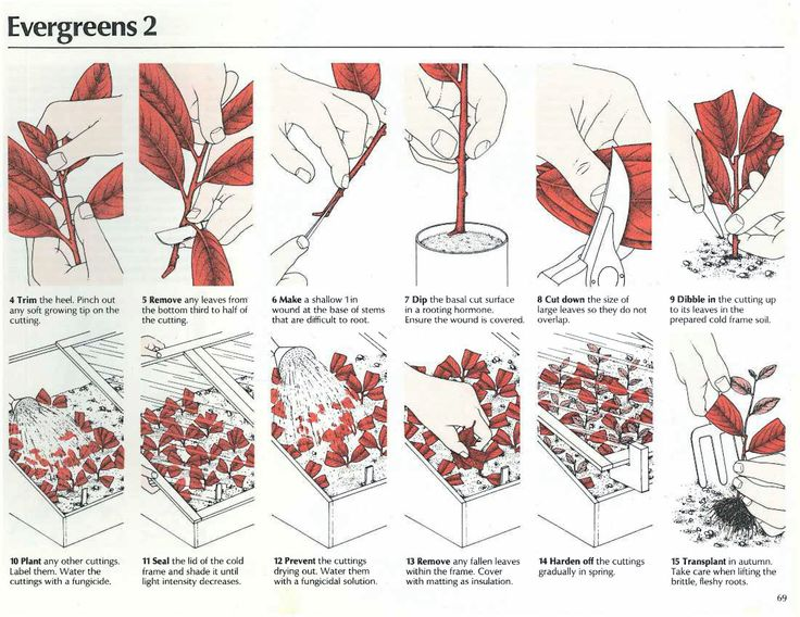 how to start evergreens from cuttings