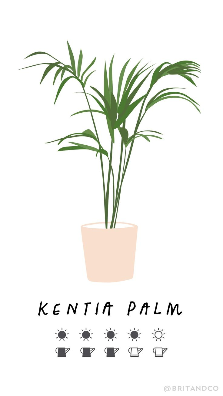 Read this beginner's guide to trendy indoor plants to learn all the tips and tricks — including how much sun + water — every plant, like the kentia palm, needs so you keep them alive and your space green.