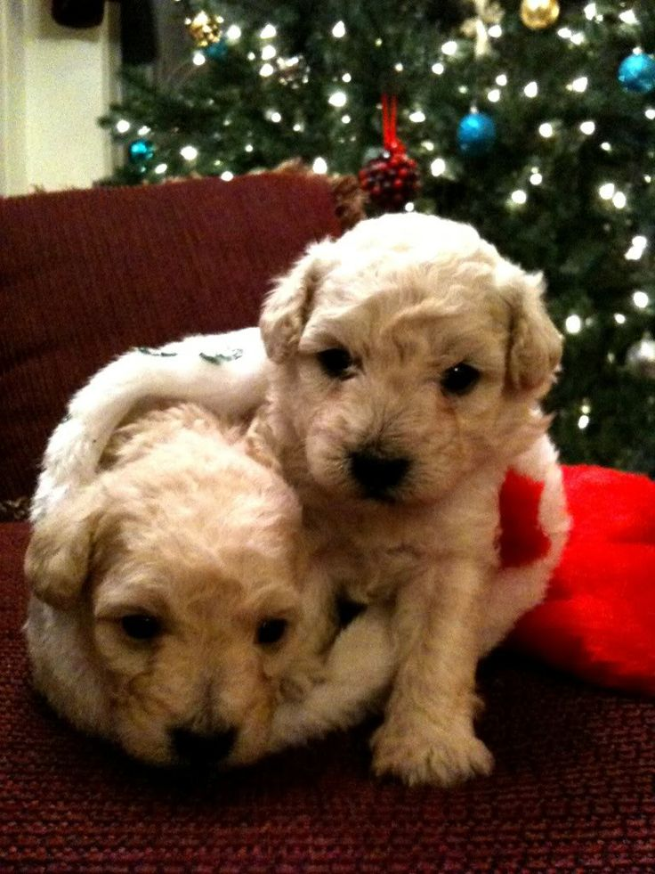 Amazing Labradoodle Chubby Adorable Dog - d414c6147a4801e2fe854fe9e9c65dec--christmas-puppy-christmas-animals  Image_551494  .jpg