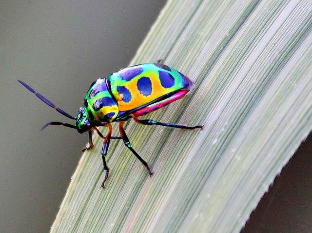 Juwel Bug Scutellaridae (heteroptera) by Thai pix Wildlife photography,,, via Flickr