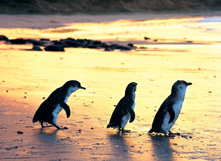 Fairy Penguins. Victoria, Australia