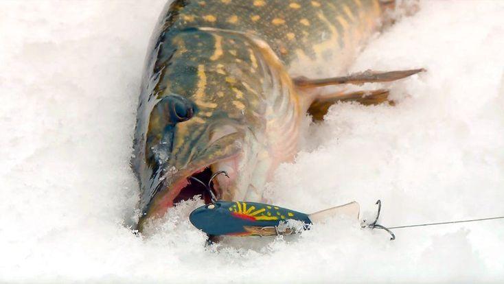 Открываем сезон зимней рыбалки - ловля щуки на балансир зимой по первому льду успешно состоялась. Смотрите видео: рыбалка проходит на льду небольшого водоема. Перебирая балансиры, подбираем те, которые сегодня щуке нравятся. Крупная щука здесь не обитает, но зимняя рыбалка удалась!