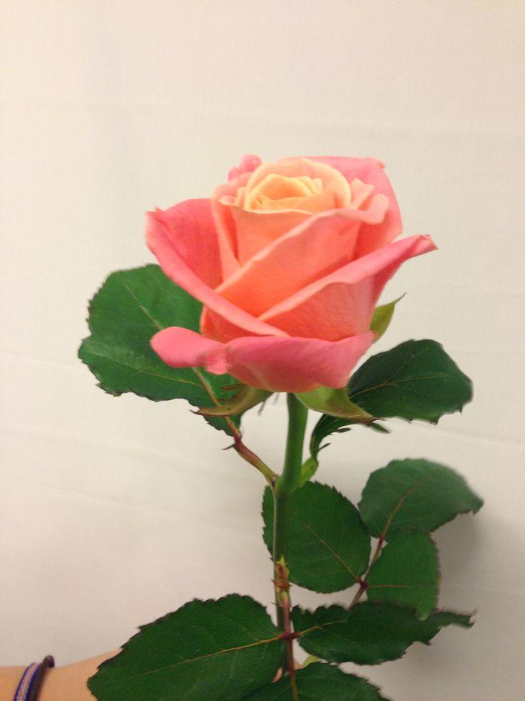 Rosa - Miss Piggy - Rose - Rosa/oransje