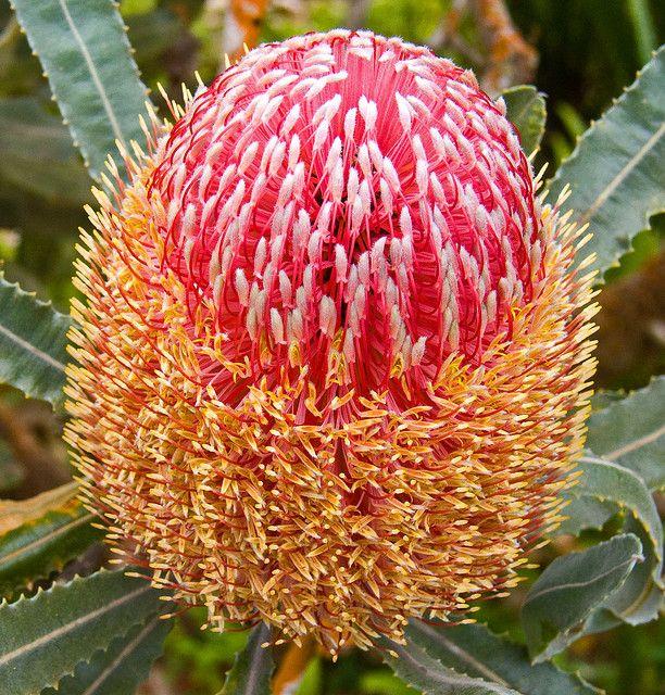 Gorgeously stunning...Protea