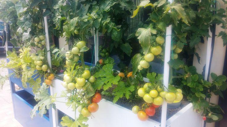 Pomodori in Acquaponica