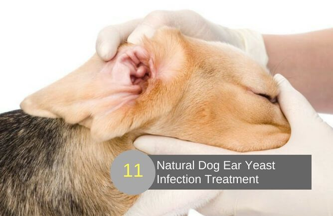 11 Fast Acting Home Remedies For Dog Ear Yeast Infection Dog