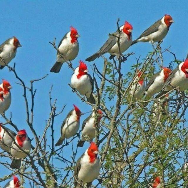 Cardenales, pájaro autóctono de Uruguay.