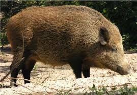 Image result for wild hogs boars