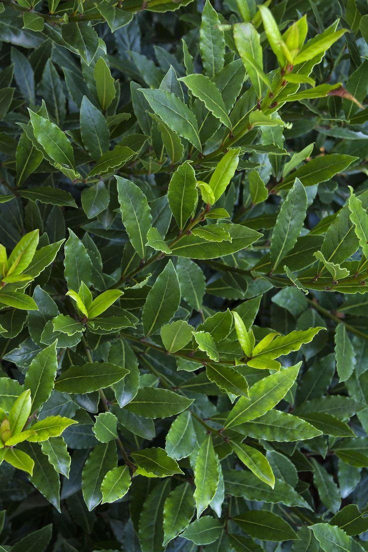 Little Ragu® Sweet Bay   (Bay leaf)  Laurus nobilis 'Little Ragu', by Monrovia Nursery