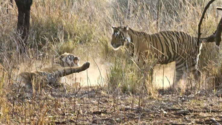 Tiger population has increased over the years but Ranthambore's capacity to accommodate them remains a concern.