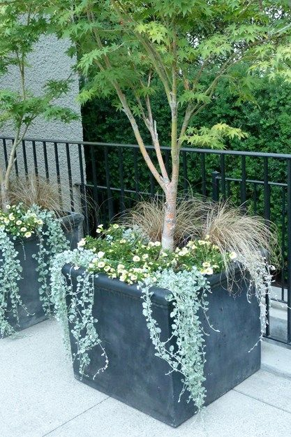 Charcoal-gray fiberglass planters on the east side of the patio, by the basement entrance to the house, are planted with Japanese maples, Acer palmatum 'Sango-kaku', Dichonrda argentea, Carex flagellifera, and Calibrachoa. Photo by: Susan Curtis.