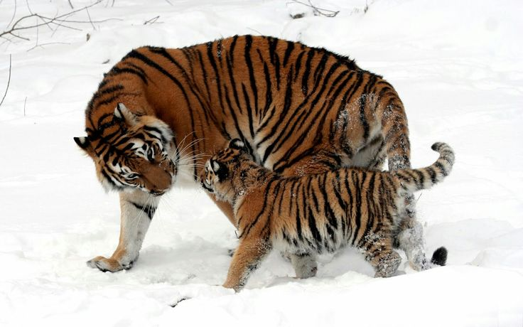 32 best tigres de bengala amarllos images on Pinterest | Animales ...