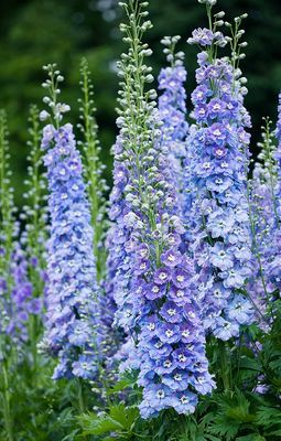 ...Blue Delphiniums