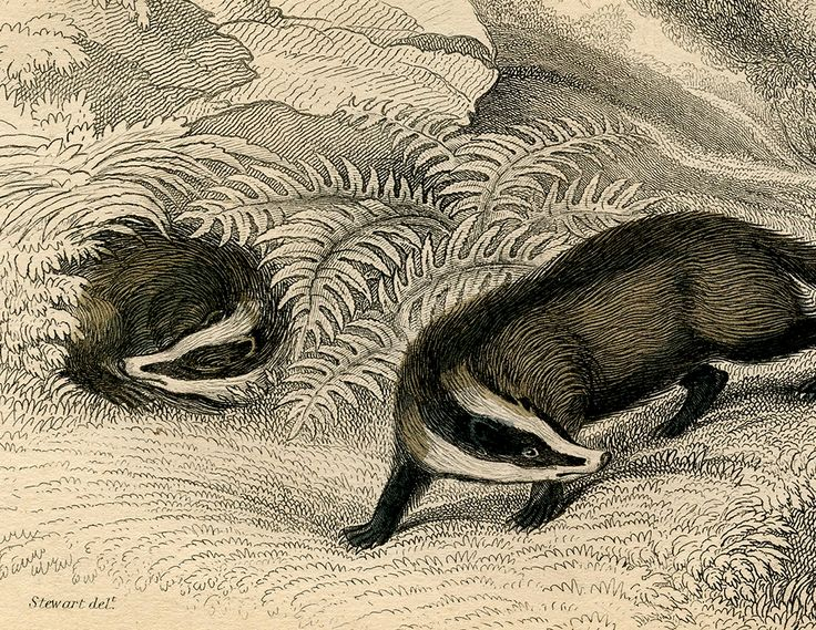 The Graphics Fairy: badgers