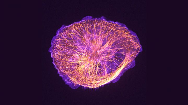 13++ Cytoskeleton in animal cell images