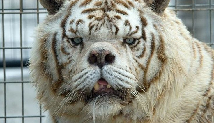 This Is Why No One Should Ever Breed White Tigers https://plus.google.com/+KevinGreenFixedOpsGenius/posts/EvK999VrHmy
