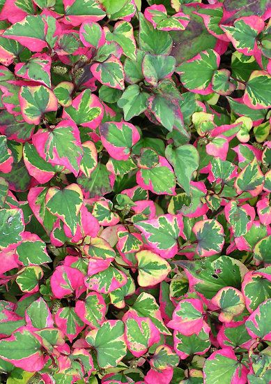 Chameleon Plant (Houttuynia Cordata 'Chameleon') WARNING spreads like crazy and can quickly get out of hand so be careful where you put it!