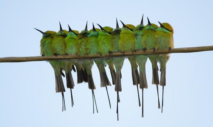 Little Green Bee Eaters, Great Rann of Kutch.