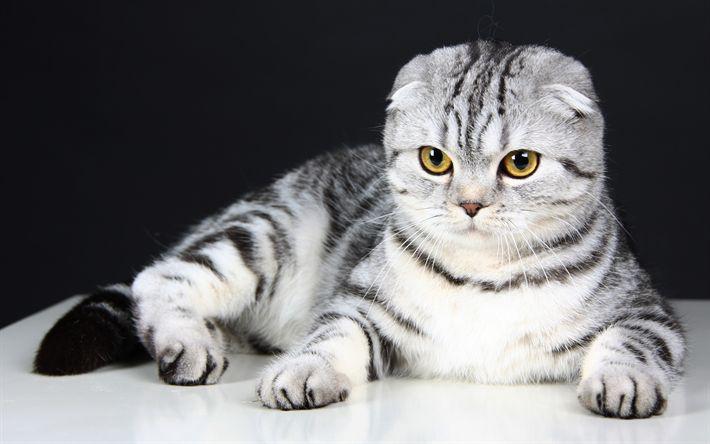 Download wallpapers 4k, Scottish Fold, cats, kitten, pets, cute animals, Scottish Fold Cat